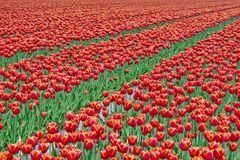 Field red white tulips in Netherlands Stock Photography