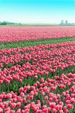 Field red white tulips in Netherlands Stock Image