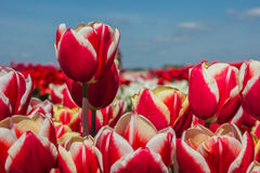 Field of red white tulips Stock Images