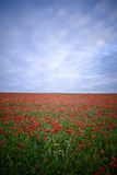 Field with red wild poppies Royalty Free Stock Photo