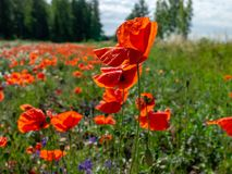 Field with red wild poppies - stock image