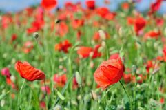 Field of red wild poppies Royalty Free Stock Photography