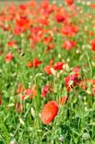 Field of red wild poppies Stock Photos