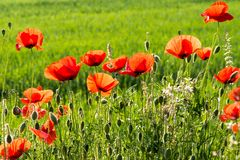 Field of red wild poppies Stock Images