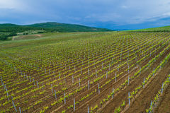 Field of red wine grape vineyard Royalty Free Stock Image