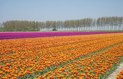 Field of red yellow anmd purple tulips in holland Stock Photos