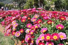 Field of red and yellow daisies. That welcomes visitors at the entrance to Euroflora 2018 Royalty Free Stock Photo