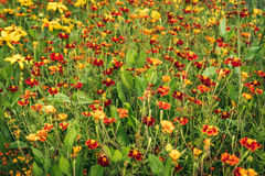 Field of red and yellow flowers. Very beautiful flowerbed that looks like a field of red and orange flowers Stock Photo
