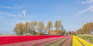 Field of red, yellow and pink tulips and a farm Stock Images