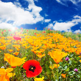 Field of red and yellow poppies Stock Images