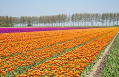 Field of red yellow and purple tulips in holland Royalty Free Stock Images