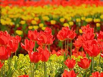 Beautiful red and yellow tulip field stock photos