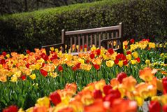 A field of red and yellow tulips with a brown bench at Cantigny Park in Wheaton, Illinois. Stock Photos