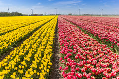 Field of red and yellow tulips in Flevoland Stock Photography