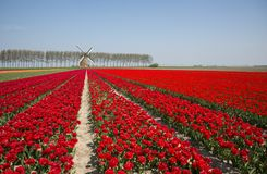 Field of red and yellow tulips in Holland Stock Photography