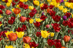 Field of red, yellow and violet tulips. Field of many multicolored tulips Stock Image