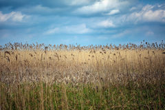 Field of reed. Landscape with a field of reed under cloudy sky Royalty Free Stock Image
