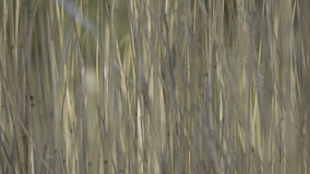 Field of reed Stock Image