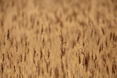 Field of reeds. Royalty Free Stock Photos