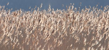 Field of reeds. Stock Photos
