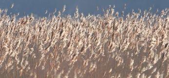 Field of reeds. stock photos