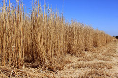Field of reeds Royalty Free Stock Photography