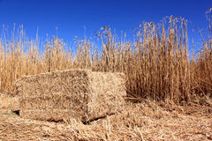 Field of reeds Royalty Free Stock Photos