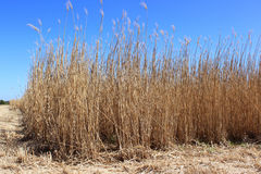 Field of reeds Royalty Free Stock Image