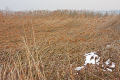Field of reeds crushed by the wind. By the lake Stock Photos