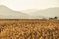 The field of reeds in South Korea Royalty Free Stock Images