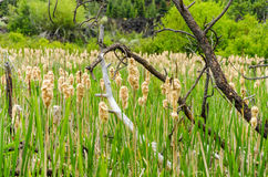 Field of Reeds Royalty Free Stock Photo
