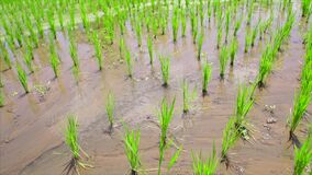 field rice stock video