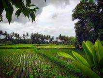 field rice royaltyfria foton