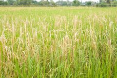 Field rice. Thai,rice of thailand Royalty Free Stock Image