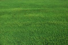 The field rice Stock Image