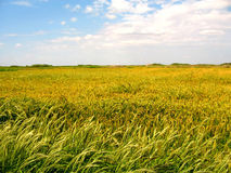 Field of rice Stock Photography