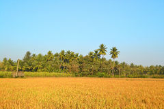 field rice Royaltyfri Foto