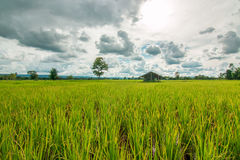 field rice Arkivbilder