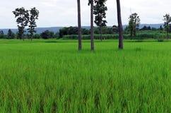 field rice royaltyfri fotografi
