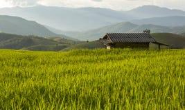 field rice Royaltyfri Bild