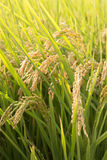 field rice Royaltyfria Bilder