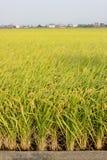 field rice Fotografering för Bildbyråer