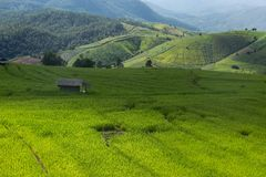 field rice Arkivbilder