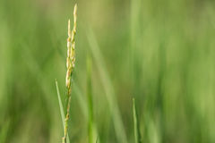 field rice Royaltyfria Bilder