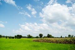 field rice Arkivfoto