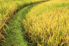 Field of rice. Everything looks yellow and green Stock Photography