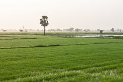 field rice Royaltyfria Foton