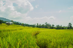 field rice Royaltyfri Foto