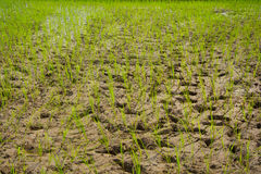 field rice Royaltyfri Bild