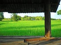 field rice Arkivfoton